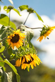Free Selective Focus Photography Of Sunflower Royalty Free Stock Image - 126179776