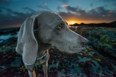 Free Weimaraner Standing On Rocks Royalty Free Stock Photos - 126180058