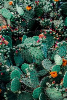 Free Photo Of Orange And Pink Petaled Flowers On Cactus Plants Stock Photo - 126180100