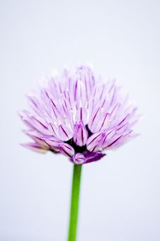 Free Close-Up Photography Of Pink Allium Stock Images - 126180234