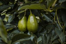 Free Close-Up Photography Of Two Avocados Royalty Free Stock Image - 126181126