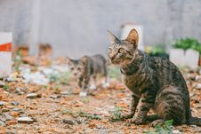 Free Two Gray Tabby Cats Outdoor Stock Images - 126181394