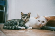 Free Two White And Black Cats Lying On Brown Wooden Surface Royalty Free Stock Images - 126181429