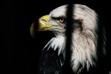 Free Close Up Photo Of Black And White Eagle Stock Photography - 126182592