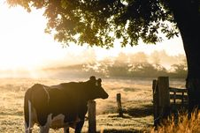 Free Black And White Cow In Front Of Green Leafed Tree Royalty Free Stock Photo - 126183595