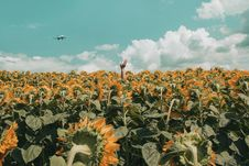 Free People Rising His Hand In The Middle Of Sunflower Field Royalty Free Stock Photo - 126184115