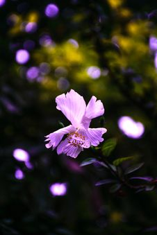 Free Purple Hibiscus Flower Selective-focus Photography Royalty Free Stock Image - 126184196