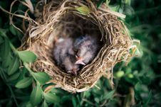 Free Selective Focus Photography Of Two Hatchling Birds In Nest Royalty Free Stock Photo - 126184285