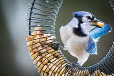 Free White And Blue Bird Eating Nuts Stock Photos - 126184403