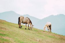 Free Zebra And Horse Grazing Royalty Free Stock Image - 126184716