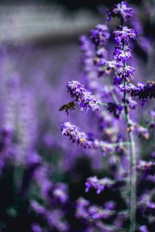 Free Selective Focus Photo Of Purple Petaled Flowers Royalty Free Stock Photo - 126184735