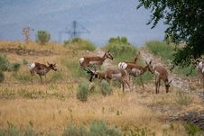 Free Herd Of Gazelle Royalty Free Stock Photography - 126184767