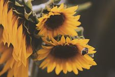 Free Honey Bee About To Perch On Yellow Sunflower Royalty Free Stock Photos - 126184788