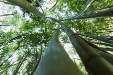 Free Forest Of Bamboo Trees Stock Image - 126184791