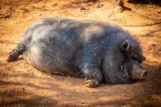 Free Black Hog Prone Lying On Soil Under Shade Of Tree Royalty Free Stock Images - 126185459