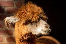 Free Brown Llama In Macro Shot Royalty Free Stock Photography - 126185537