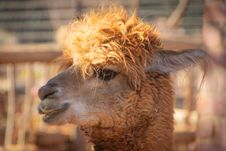 Free Shallow Focus Photography Of Brown Llama Stock Photography - 126185552