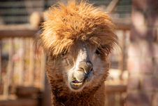 Free Shallow Focus Photography Of Brown Llama Stock Images - 126185594