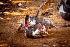 Free Two Ducks On Brown Soil Royalty Free Stock Photos - 126185678
