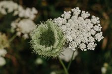 Free Closeup Photo Of White Queen Anne S Lace Flower Royalty Free Stock Photos - 126185718