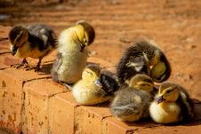 Free Selective Focus Photo Of Flock Of Ducklings Perching On Gray Concrete Pavement Royalty Free Stock Image - 126185726