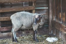 Free Sheep In Stable Stock Photo - 126186060