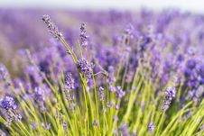 Free Closeup Photography Of Purple Petaled Flower Field Royalty Free Stock Photography - 126186407