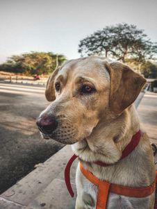 Free Closeup Photo Of Adult Yellow Labrador Retriever Stock Photos - 126186443