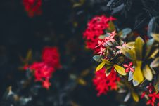 Free Close Up Photo Of Red Ixora Plant Royalty Free Stock Photography - 126186927