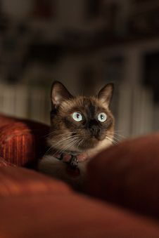 Free Siamese Cat With Red Collar Royalty Free Stock Photo - 126187495