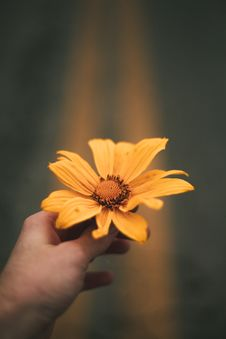 Free Person Holding Sunflower Flower Stock Photo - 126187530