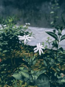 Free Selected Focus Photo Of White Petaled Flowers With Green Leaf Royalty Free Stock Image - 126187826