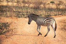 Free Wildlife Photography Of Zebra Walking Across Pathway Royalty Free Stock Images - 126187909