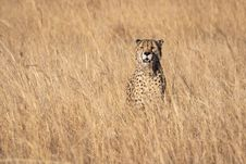 Free Cheetah Standing On Grasses Stock Photos - 126187923