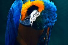 Free Blue And Yellow Macaw Parrot Royalty Free Stock Photo - 126187945