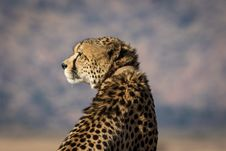 Free Selective-focus Photography Of Brown And Black Cheetah Stock Photos - 126187973