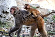 Free Photo Of Monkeys Royalty Free Stock Photo - 126188095