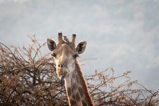 Free Giraffe Showing It S Tongue Royalty Free Stock Photos - 126188188