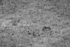 Free Wildlife Photography Of Three Zebras Royalty Free Stock Image - 126188566