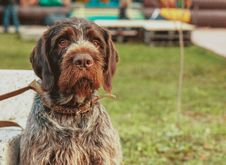 Free Selective Focus Photography Of Long-coated Brown Dog Royalty Free Stock Photography - 126189007