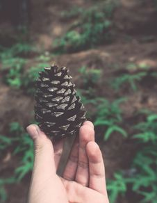 Free Person Holding Pine Cone Royalty Free Stock Photo - 126189145