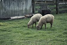 Free Two Brown Sheep On Grass Field Near Brown Wooden Fence Stock Photography - 126189842