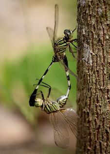 Free Two Green Dragonflies Mating Royalty Free Stock Images - 126189859