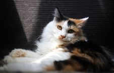 Free Calico Cat Royalty Free Stock Photo - 126190895