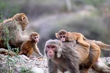 Free Group Of Monkeys Royalty Free Stock Images - 126191019