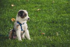 Free White And Gray Australian Shepherd Puppy Sitting On Grass Field Stock Photo - 126191030