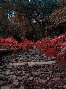 Free Pathway Filled With Red Plants Stock Image - 126191221