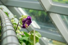 Free Purple Bellflower Stock Photos - 126191293