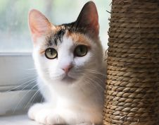 Free Calico Cat Royalty Free Stock Photo - 126191395