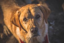 Free Close-up Photography Of Adult Golden Retriever Stock Images - 126191864